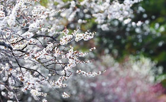 桐鄉市首屆槜李文化節暨桃園村李花觀賞季,開幕式將于3月23日隆重舉行